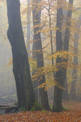 Buchenwald im Nebel (D)