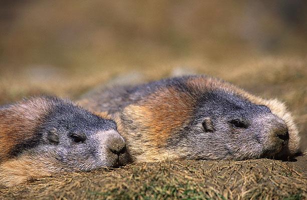 Ruhende Murmeltiere