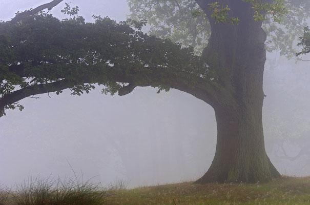 Alte Eiche im Nebel (D)