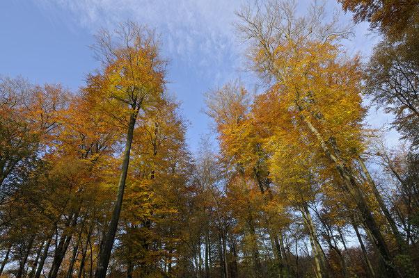 Herbstliche Buchen (D)