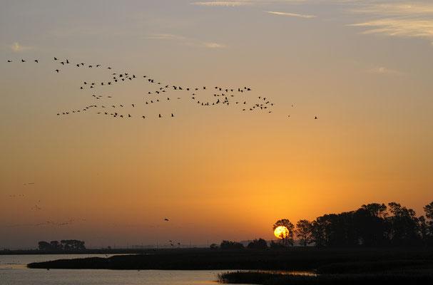 Kranich (Grus grus), bei Sonnenaufgang