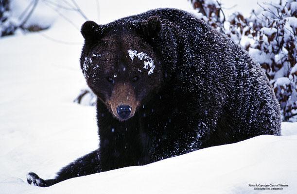 Braunbär (Ursus arctos) Männchen (c)