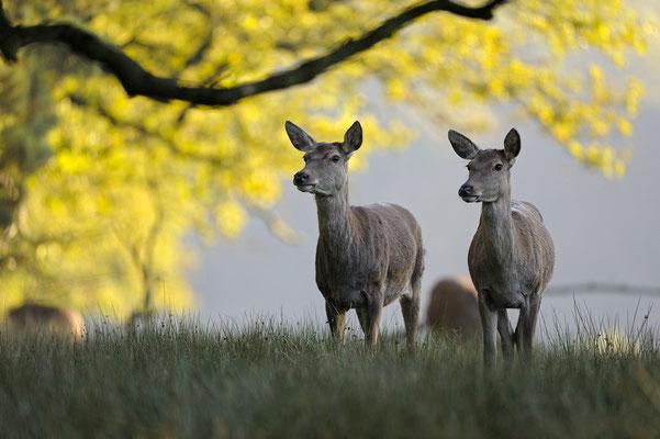 Hirschkühe im Herbst