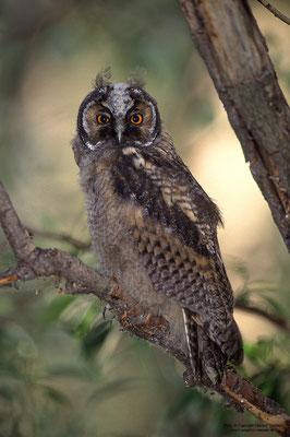 Waldohreule (Asio otus), Jungvogel