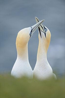 Basstölpel (Morus bassanus), Paar begrüßt sich