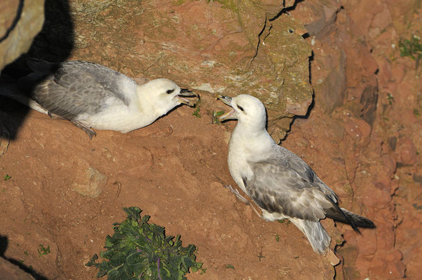Eissturmvogel (Fulmarus glacialis), Paar an der Höhle