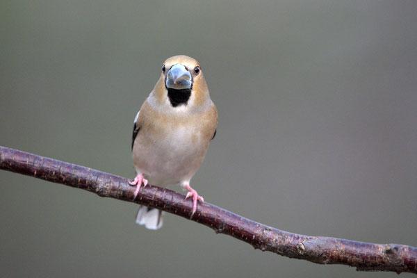 Kernbeißer (Coccothraustes coccothraustes), Weibchen