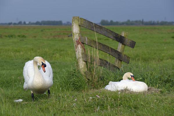 Höckerschwanpaar am Nest (Cygnus olor)