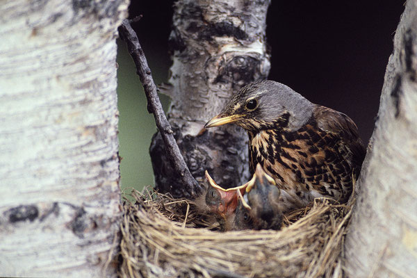 Wacholderdrossel füttert Jungvögel (Turdus pilaris)