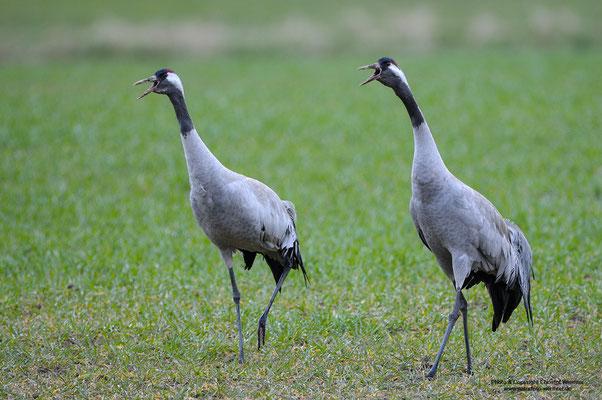 Kranich (Grus grus), balzendes Paar