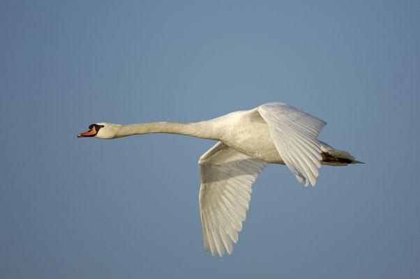 Höckerschwan im Flug