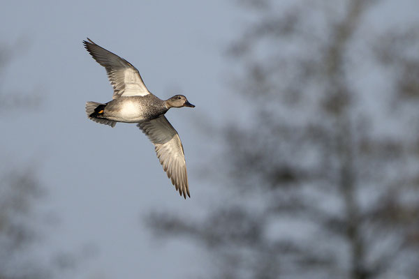 Schnatterente (Mareca strepera), Erpel im Flug