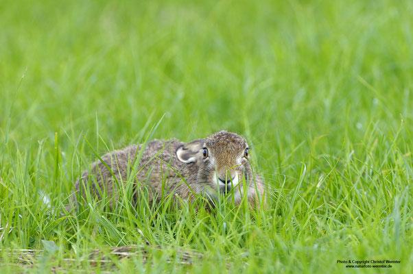 Feldhase (Lepus europaeus), in der Sasse