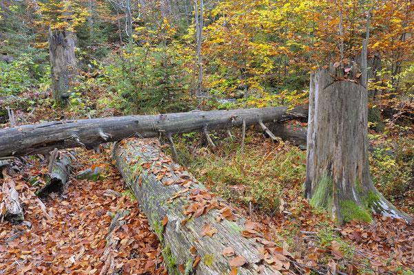 Tote und junge Bäume, NP Bayerischer Wald (D)