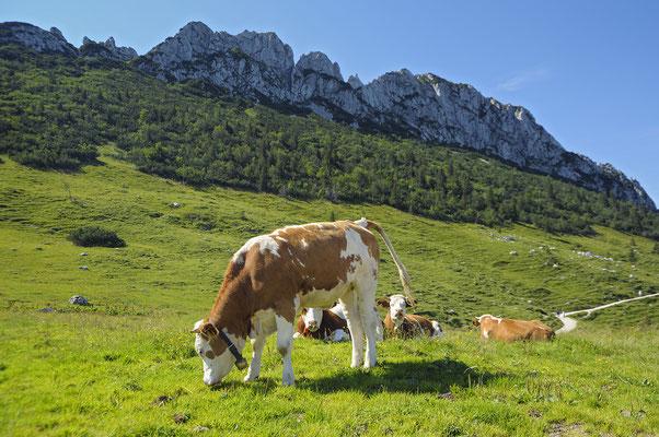Kühe auf der Steinlingalm unterhalb der Kampenwand