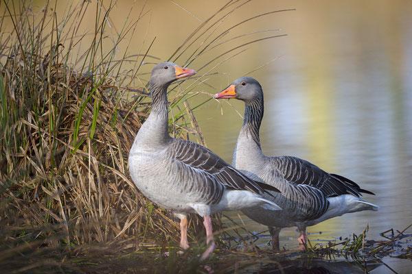 Graugans (Anser anser), Paar im Frühjahr