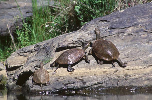 Spanische Wasserschildkröten (Mauremys leprosa)