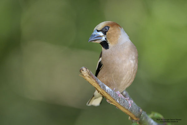 Kernbeißer (Coccothraustes coccothraustes), Männchen
