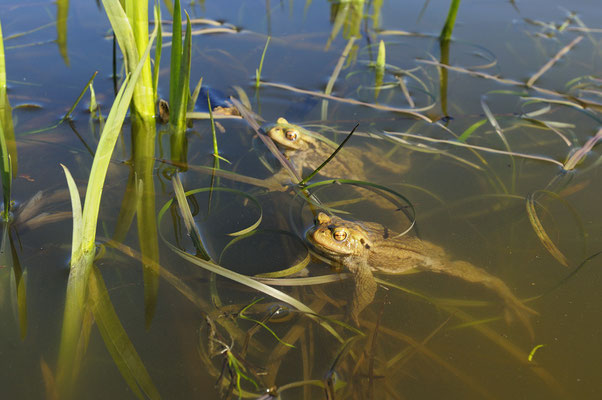 Erdkrötenmännchen (Bufo bufo) im Laichgewässer