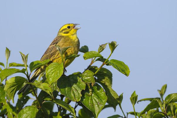 Goldammer (Emberiza citrinella), singendes Männchen
