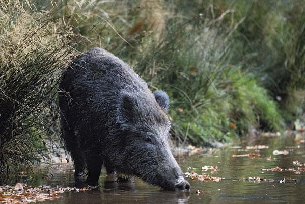 Wildschwein trinkt (c)