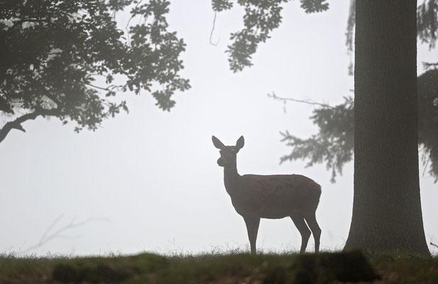 Hirschkuh im Nebel
