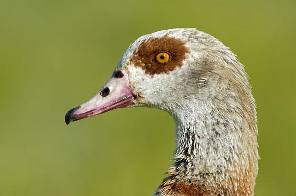 Nilgans (Alopochen aegyptiacus), Portrait