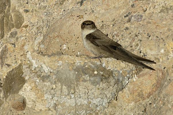 Felsenschwalbe (Ptyonoprogne rupestris) am Nest