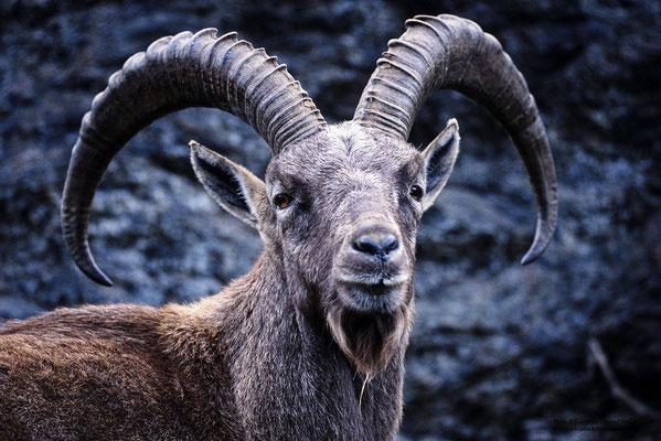 Alpensteinbock (Capra ibex), Portrait (c)