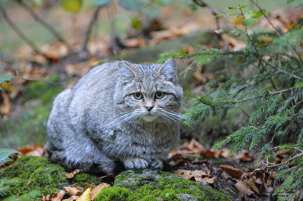 Wildkatze (Felis sylvestris) (c)