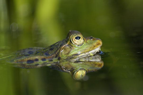 Teichfrosch (Rana kl. esculenta)