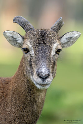 Mufflon (Ovis gmelini musimon), Jungtier (c)
