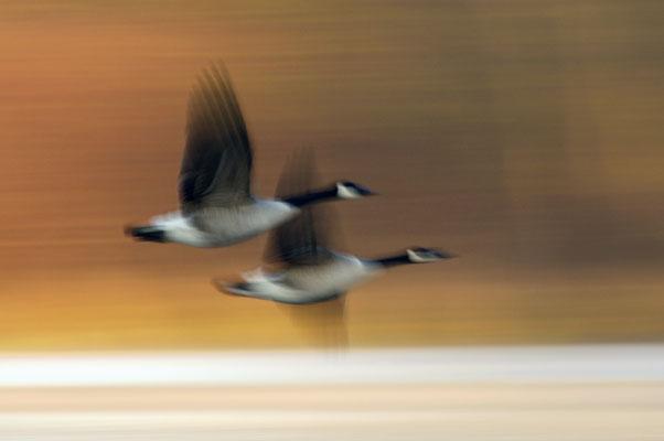 Kanadagans (Branta canadensis), Paar im Flug
