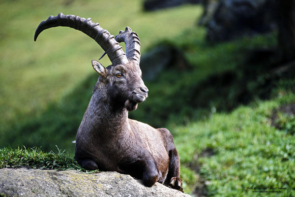 Alpensteinbock (Capra ibex) (c)