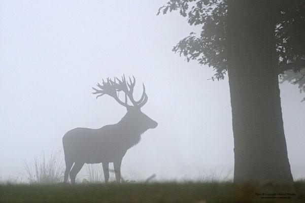Rothirsch (Cervus elaphus) im Nebel (c)