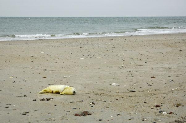 Kegelrobbenbaby am Strand