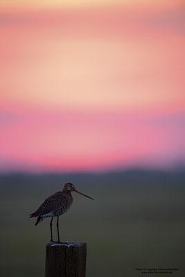 Uferschnepfe (Limosa limosa), bei Sonnenaufgang