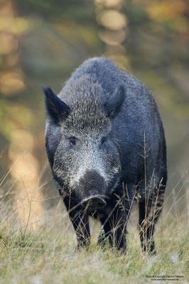 Wildschwein (Sus scrofa) (c)