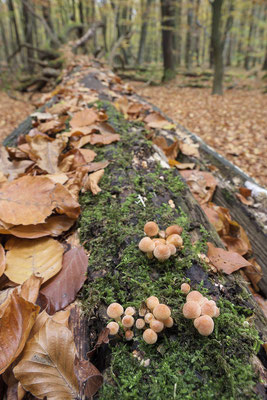 Pilze auf Totholz (D)