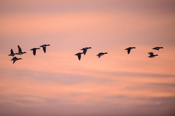 Pfeifente (Anas penelope) bei Sonnenaufgang