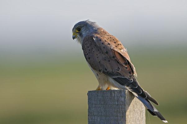 Turmfalke (Falco tinnunculus), Terzel