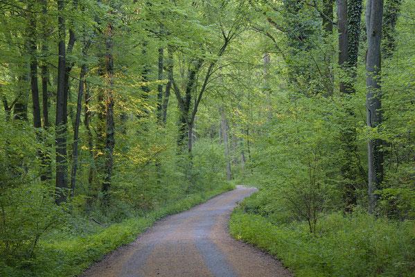 Weg im Buchenwald
