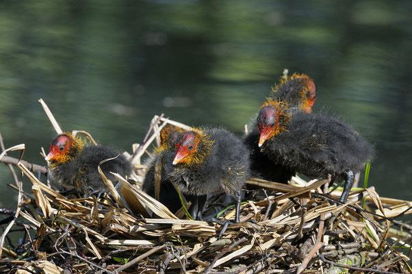 Blässhuhn (Fulica atra), Jungvögel auf dem Nest