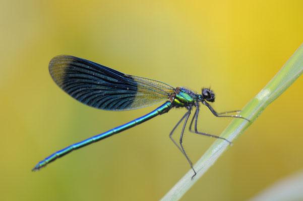 Gebänderte Prachtlibelle, Männchen (Calopteryx splendens)