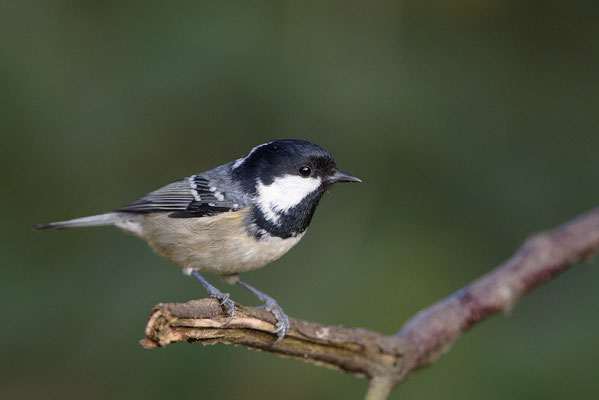 Tannenmeise (Parus ater)