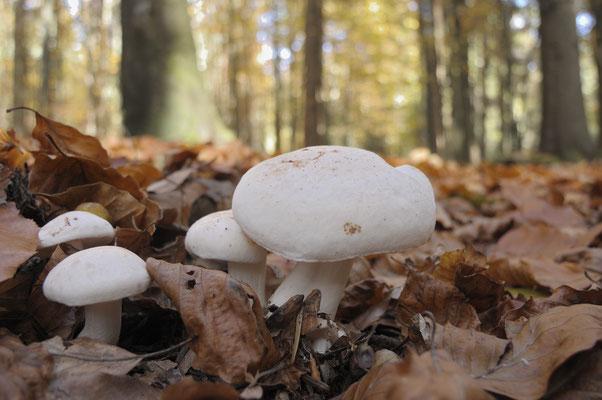 Pilze im Buchenlaub, NP Bayerischer Wald (D)