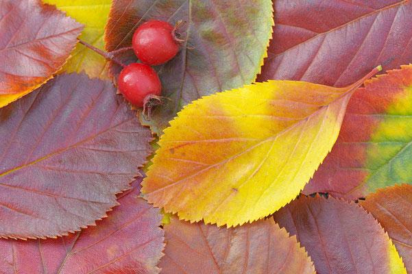 Früchte und Blätter der Echten Mehlbeere (D)