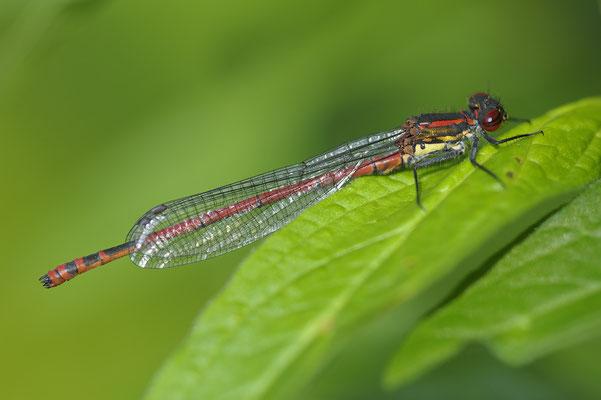 Frühe Adonislibelle (Phyrrhosoma nymphula)