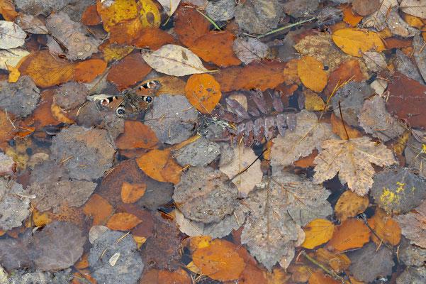 Tagpfauenauge und Herbstlaub im Wasser, NP Bayerischer Wald (D)
