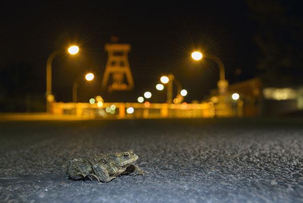 Erdkrötenmännchen (Bufo bufo) vor der Zeche Prosper-Haniel in Bottrop